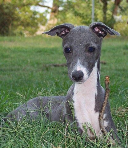 Seal Italian Greyhound Puppy Mylot Italian Greyhound Puppies Greyhound Puppy Italian Greyhound