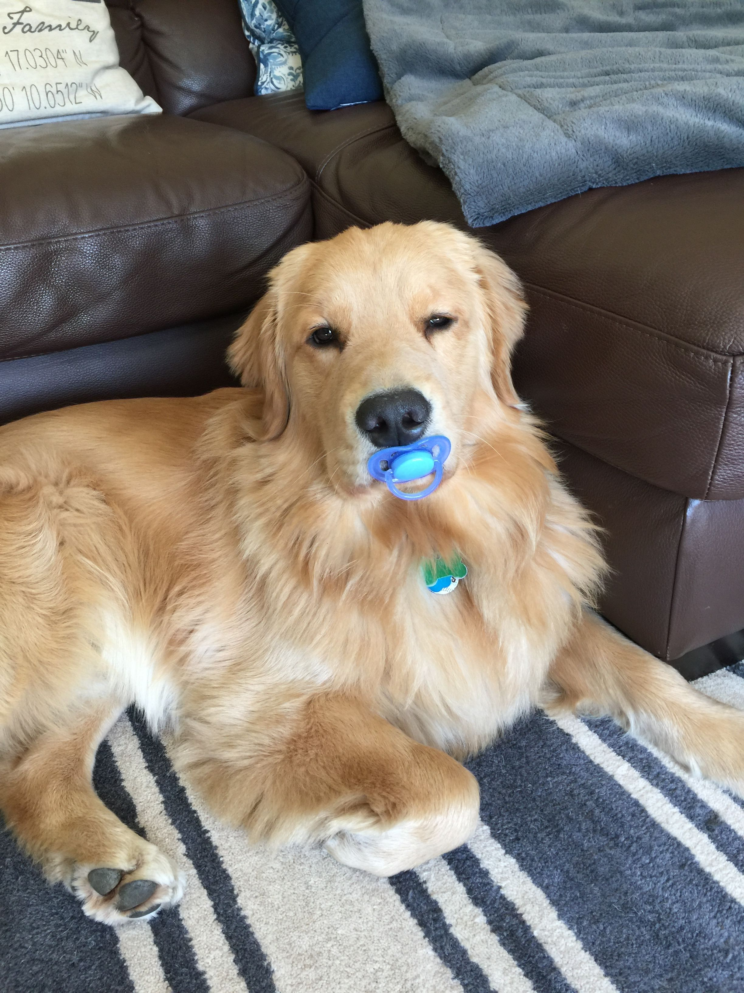 Everypawdy Needs A Binky Now And Then Lol Golden Retriever