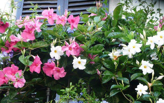 fleurs en pots pour balcon et terrasse my little jardin. Black Bedroom Furniture Sets. Home Design Ideas