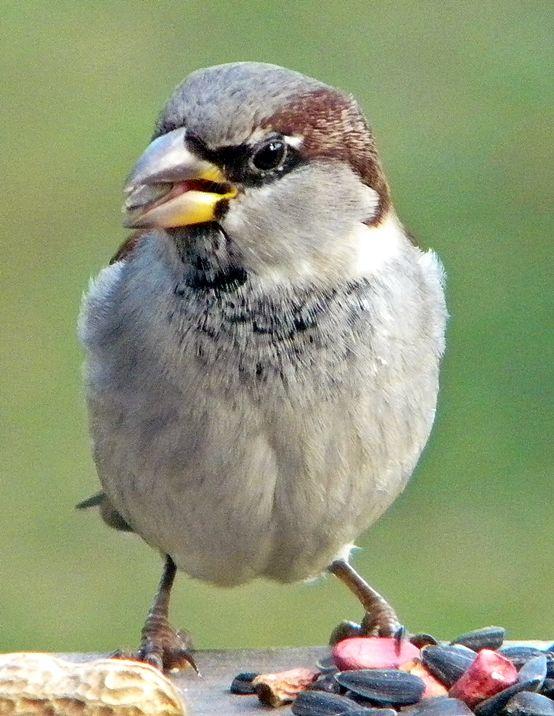 Sparrow~cl