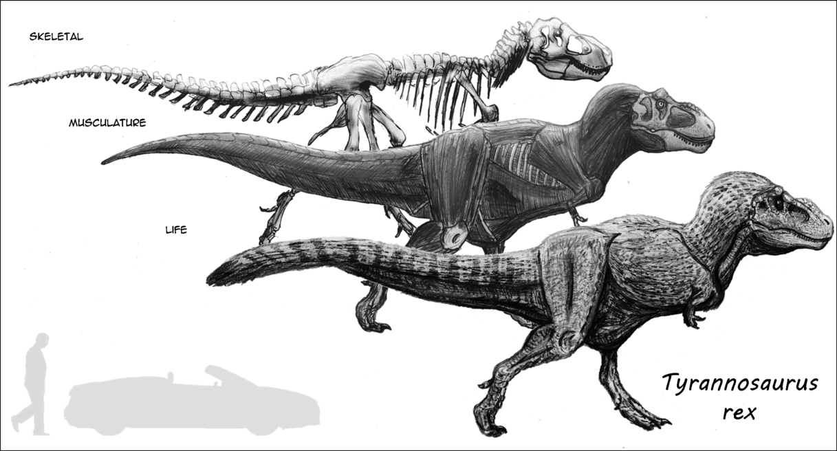 Old version) Anatomy Study: Tyrannosaurus by Sketchy-raptor   Ref ...
