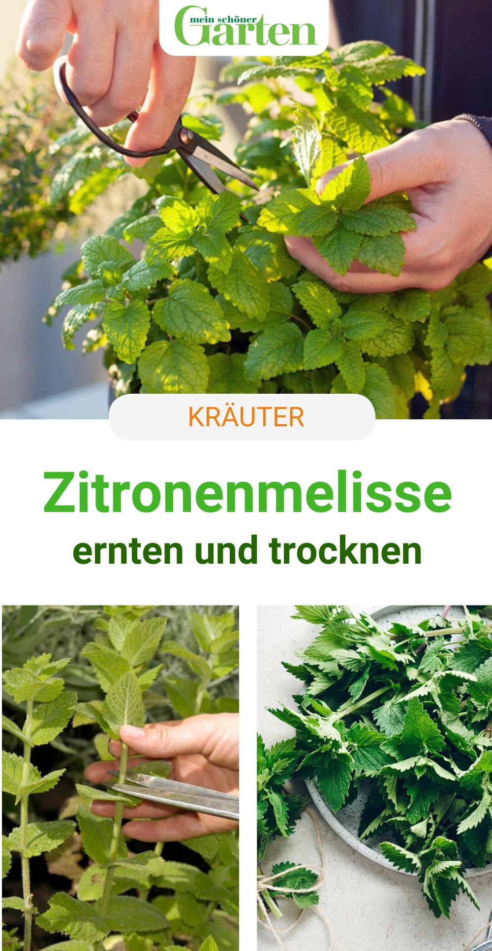 Zitronenmelisse Ernten Und Trocknen So Geht S In 2020 Krauter Anpflanzen Zitronenmelisse Unkraut Im Garten