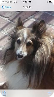 Burbank, CA - Sheltie, Shetland Sheepdog. Meet Scottie - PUREBRED MiniSheltie, a dog for adoption. http://www.adoptapet.com/pet/12847346-burbank-california-sheltie-shetland-sheepdog