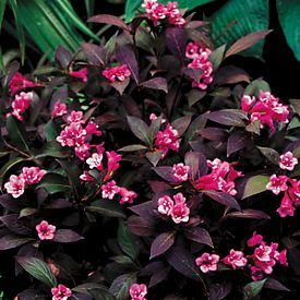 Buy Weigela Midnight Wine PP#12,217 online from Park Seed