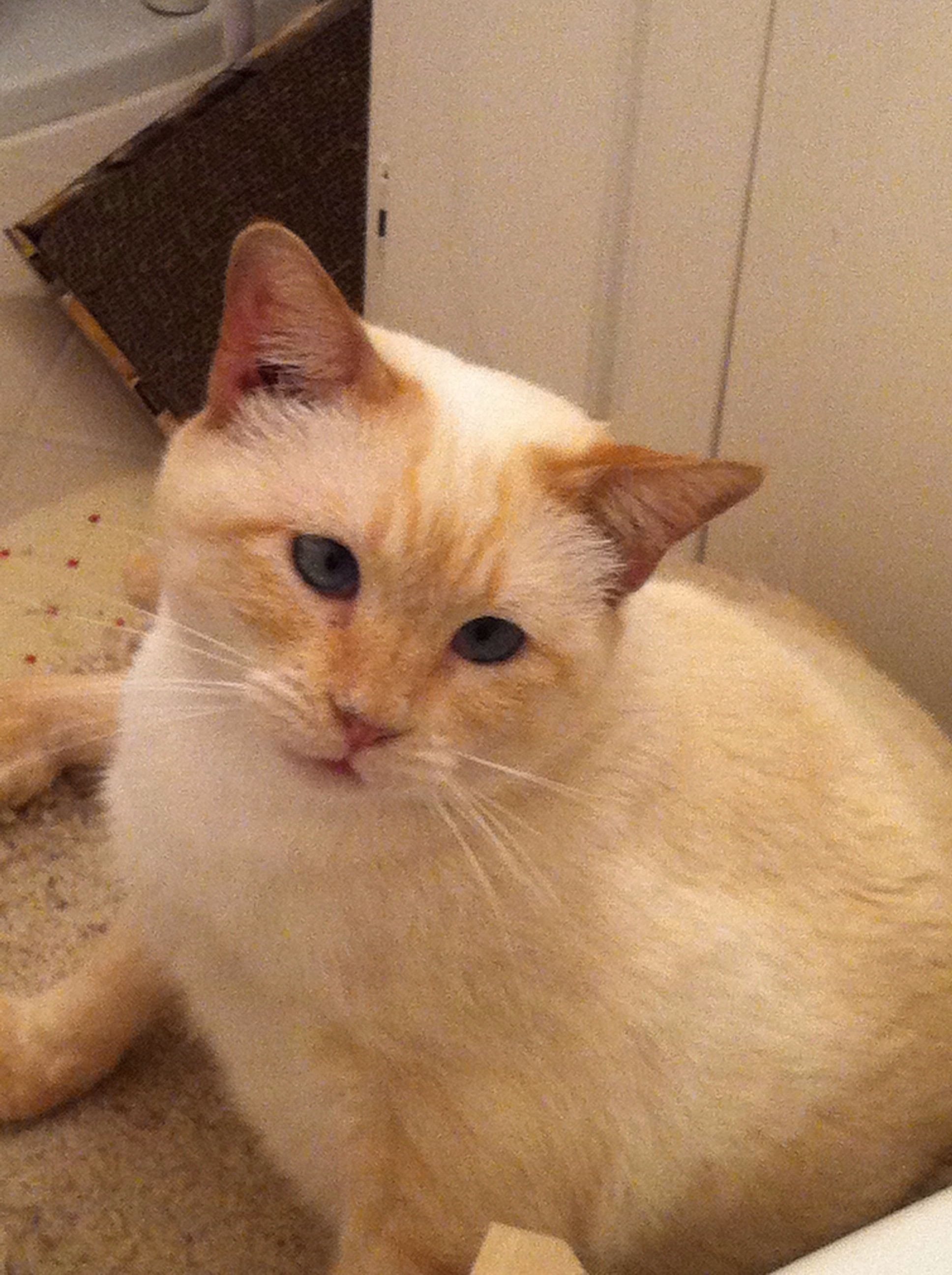 .ADOPTED! Flamepoint Siamesemix cat, Hannah, was adopted