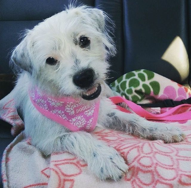 Tia The Gorgeous Staffy X Maltese Rescue From Brisbane Adoptdontshop Dog Boutique Dog Grooming Dog Accessories