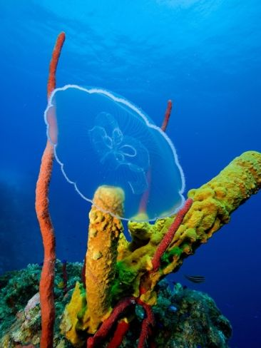 Moon Jellyfish near Coral Reef The peace of the world underwater