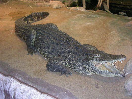 cuban-crocodile