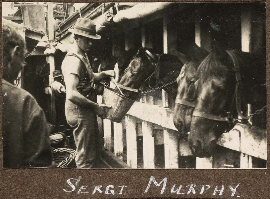 1914-1916; Nearly all of the 10,000 horses the government acquired for the New Zealand Expeditionary Force