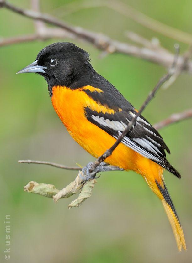 Baltimore Oriole Icterus Galbula Pet Birds Backyard Birds Missouri Birds