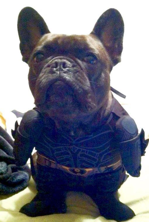 Da Na Na Na Na Na Na Na Bat Pig French Bulldog In Batman Costume