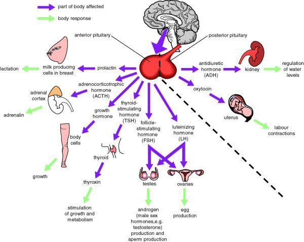 Functions Of The Pituitary Gland Nursing Pinterest