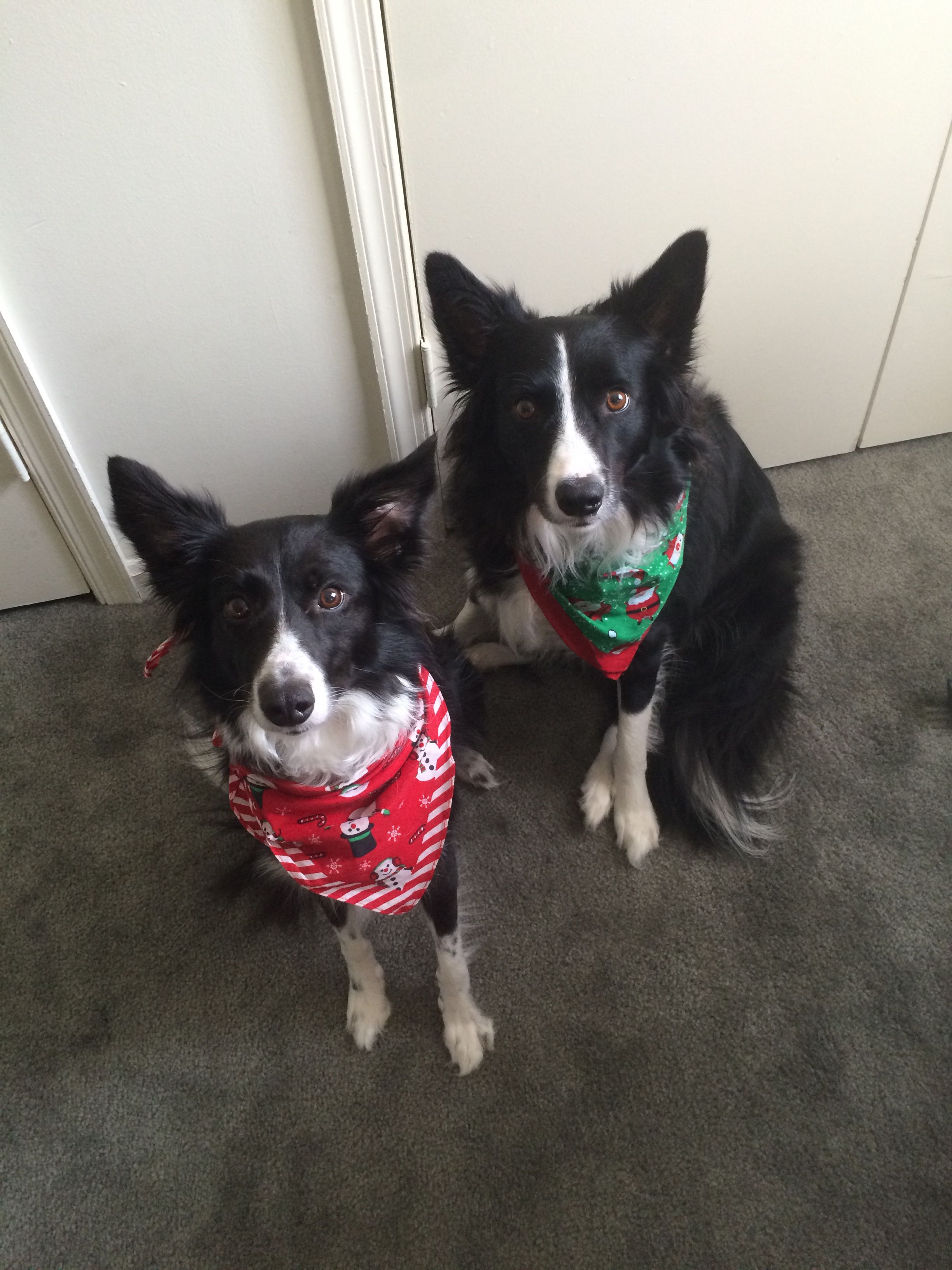 Sophie and Rowdy in their christmas bandanas