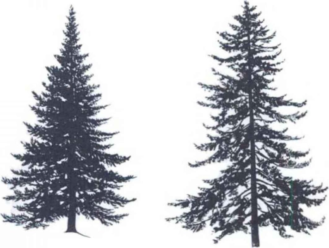 Pine Trees Silhouette , Pine Forest Silhouette , Pine ...