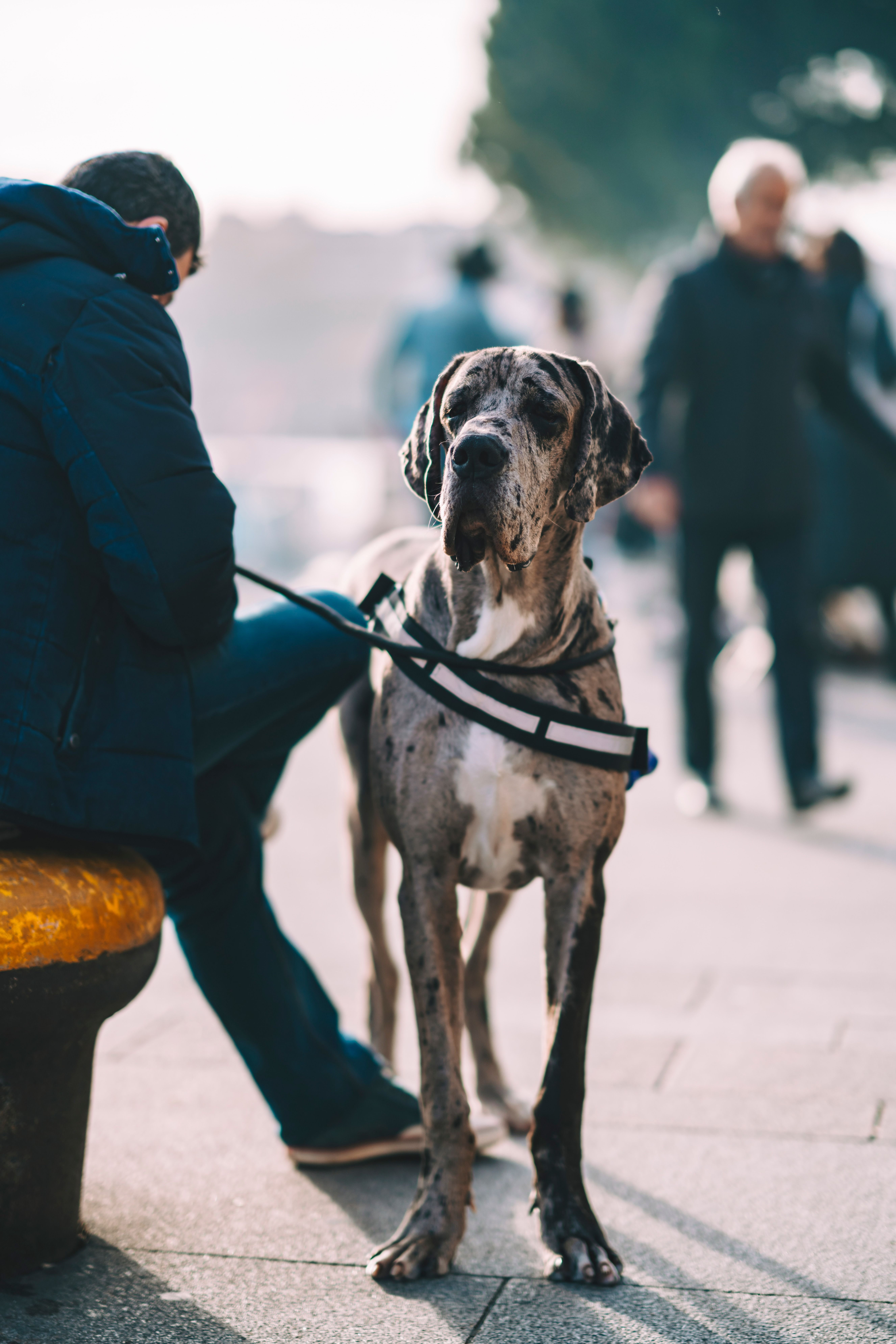 Person Holding Zebra Stripes Leash Of Gray And White Great Dane