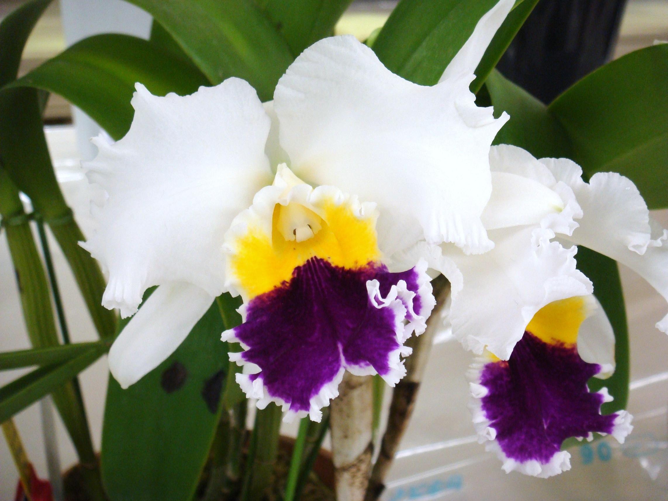 orchid cattleya nippon orchideen pinterest leoparden k nigin und blumen. Black Bedroom Furniture Sets. Home Design Ideas
