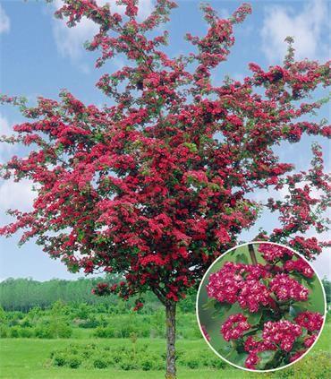 Crataegus Pauls Scarlet Tömbilehine Viirpuu