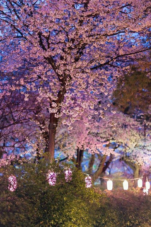 Cerezos Japoneses Arbol De Cerezo Japones Flores De Cerezo Japonesas Arbol De Cerezo