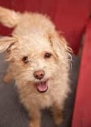 PEACHES is an adoptable Terrier Dog in Pasadena, CA.    Peaches is a loving 9 month old apricot Terripoo puppy. She weighs about 18 lbs.. Peaches is currently living in a foster home with other dogs. ...