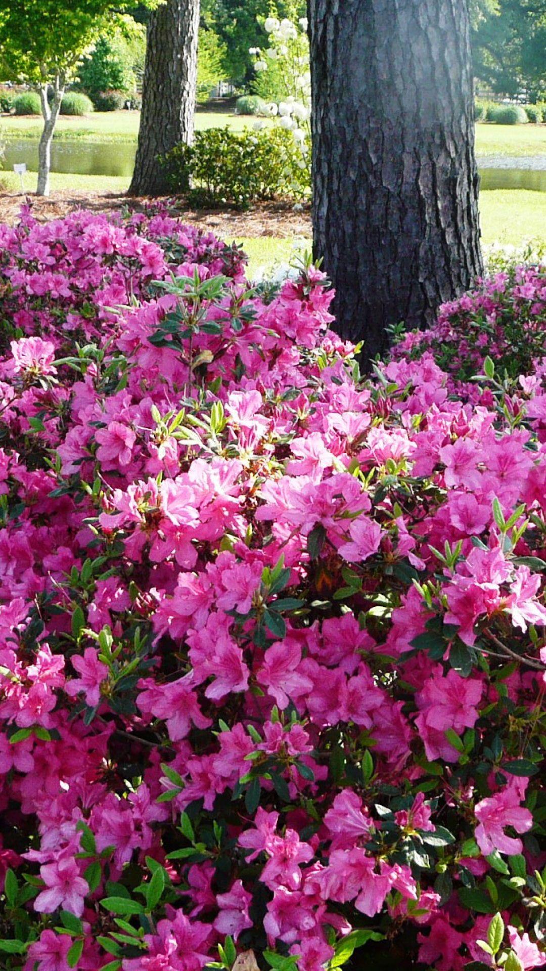 10 Best Uses For Encore Azaleas By Size Azaleas Landscaping Azaleas Garden Garden Design
