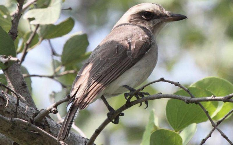 Large Woodshrike Bird Perch Bird Watchers Bird