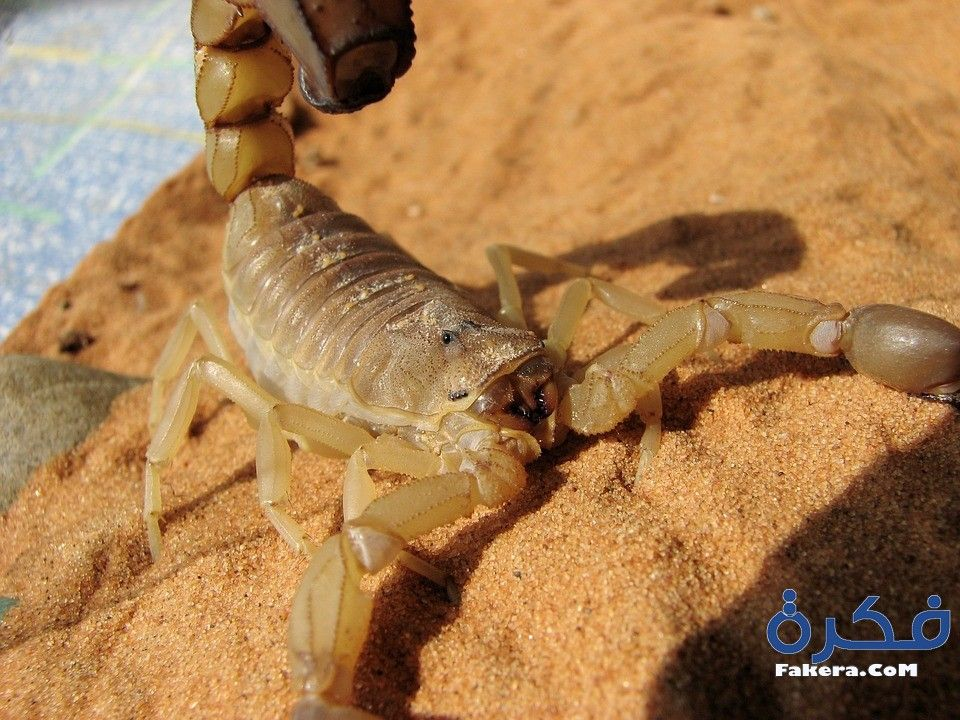 معنى تفسير حلم رؤية العقرب او العقارب في المنام موقع فكرة Scorpion Androctonus Australis Scary Animals