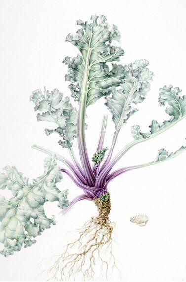 Annie Patterson (Born 1951-) Crambe maritima-Sea Kale Watercolour On Paper