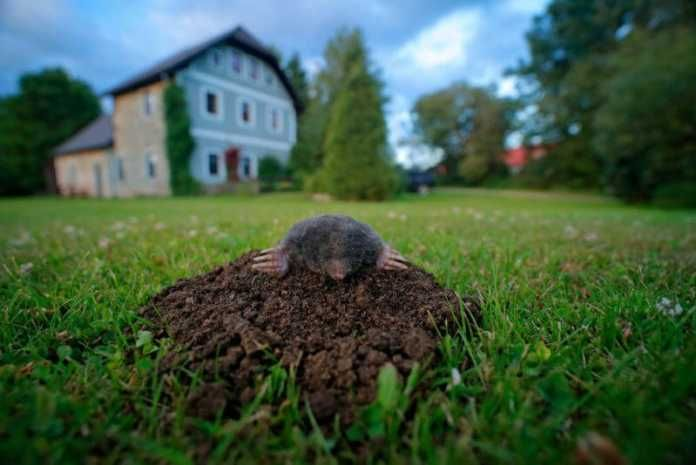 13 Natural Home Remedies To Get Rid of Moles In Your Yard ...