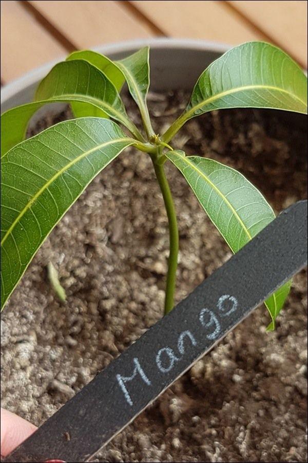 Mango ziehen leicht gemacht mit einfacher Step by Step Anleitung #kräutergartenpalette