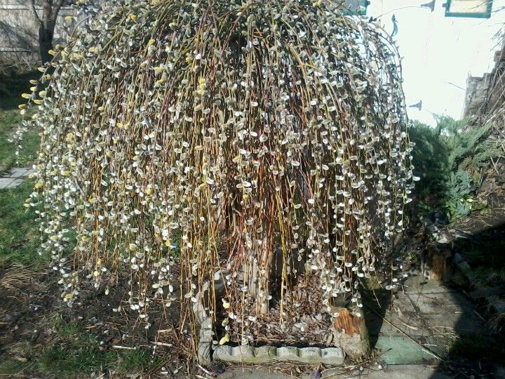 6ft weeping pussy willow tree sacred spaces pinterest for Weeping garden trees