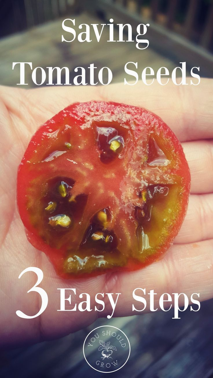 How to save tomato seeds its easier than you think with