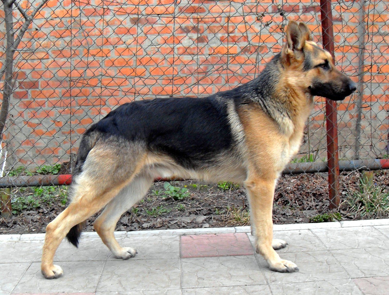 East European Shepherd Google Search German Shepherd Shepherd