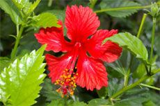 Hibiscus Flowers Hibiscus Blossoms Falling Off Plant Gardening
