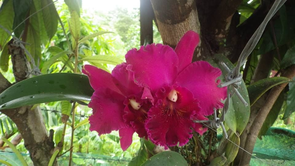 Huge Purple Cattleya Orchid In Full Bloom Cattleya Orchid Planting Flowers Orchids