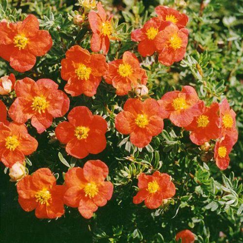 Цветы лапчатка