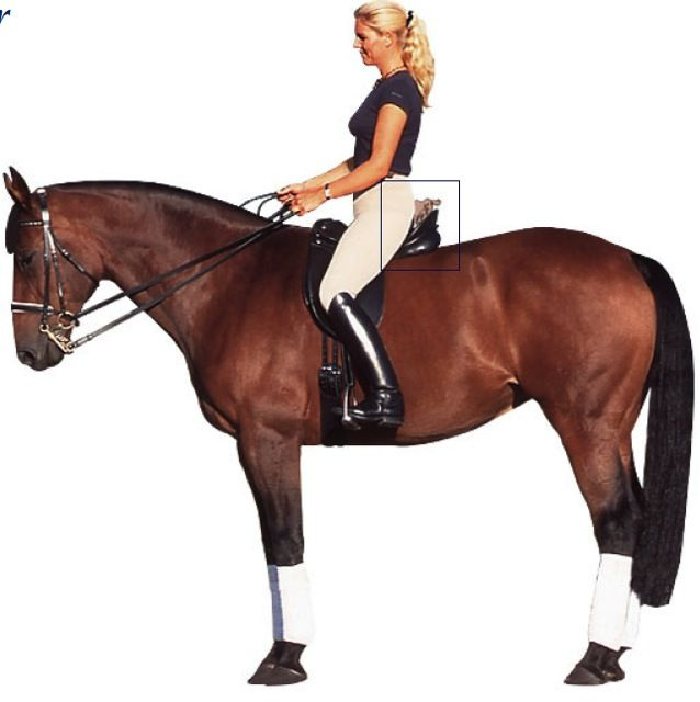 The Saddle Fit - Rider: Size and Weight of the Rider