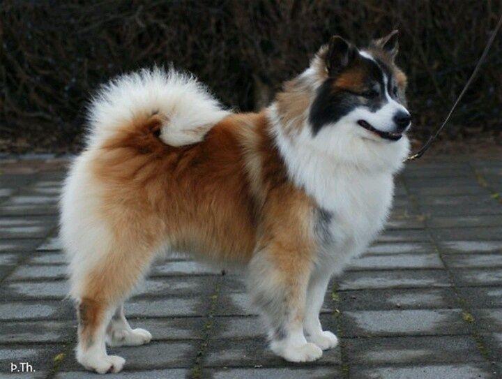 Simple Icelandic Sheepdog Canine Adorable Dog - 077cfc825bd6bce82bfc4e3f96001f89  Trends_167114  .jpg