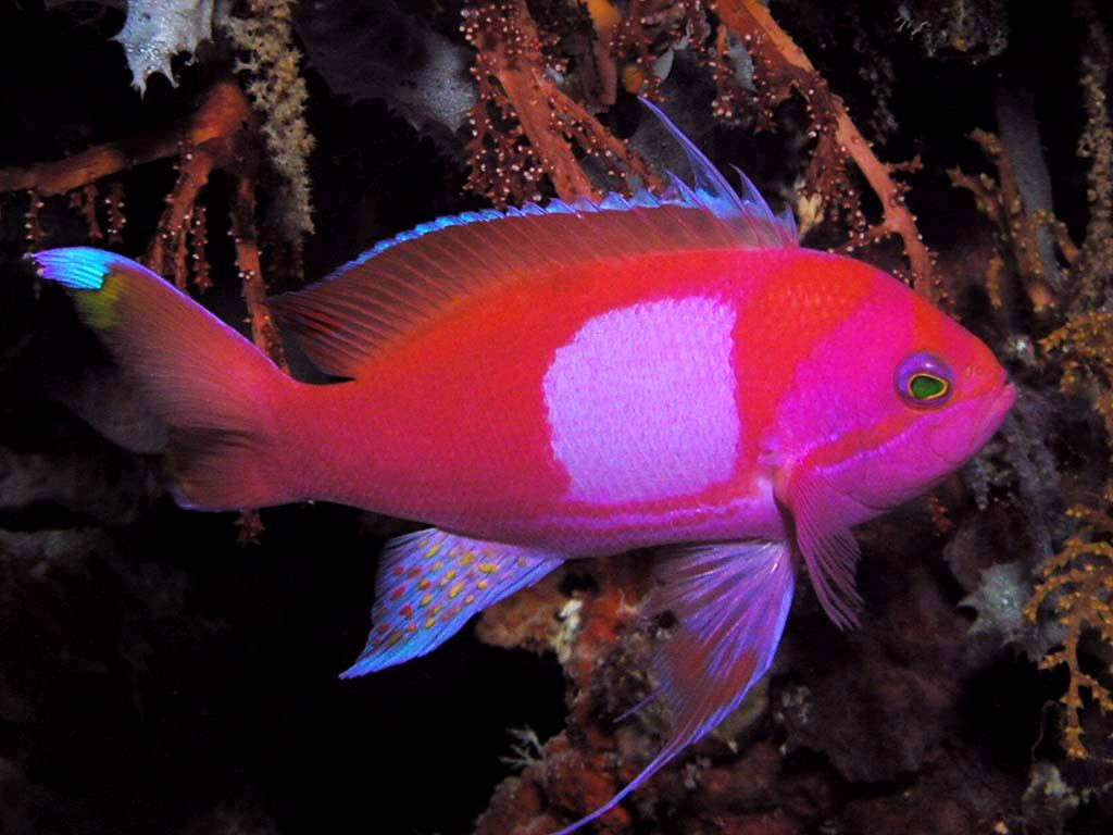 Pink saltwater fish does their color fade over time are for Easy aquarium fish
