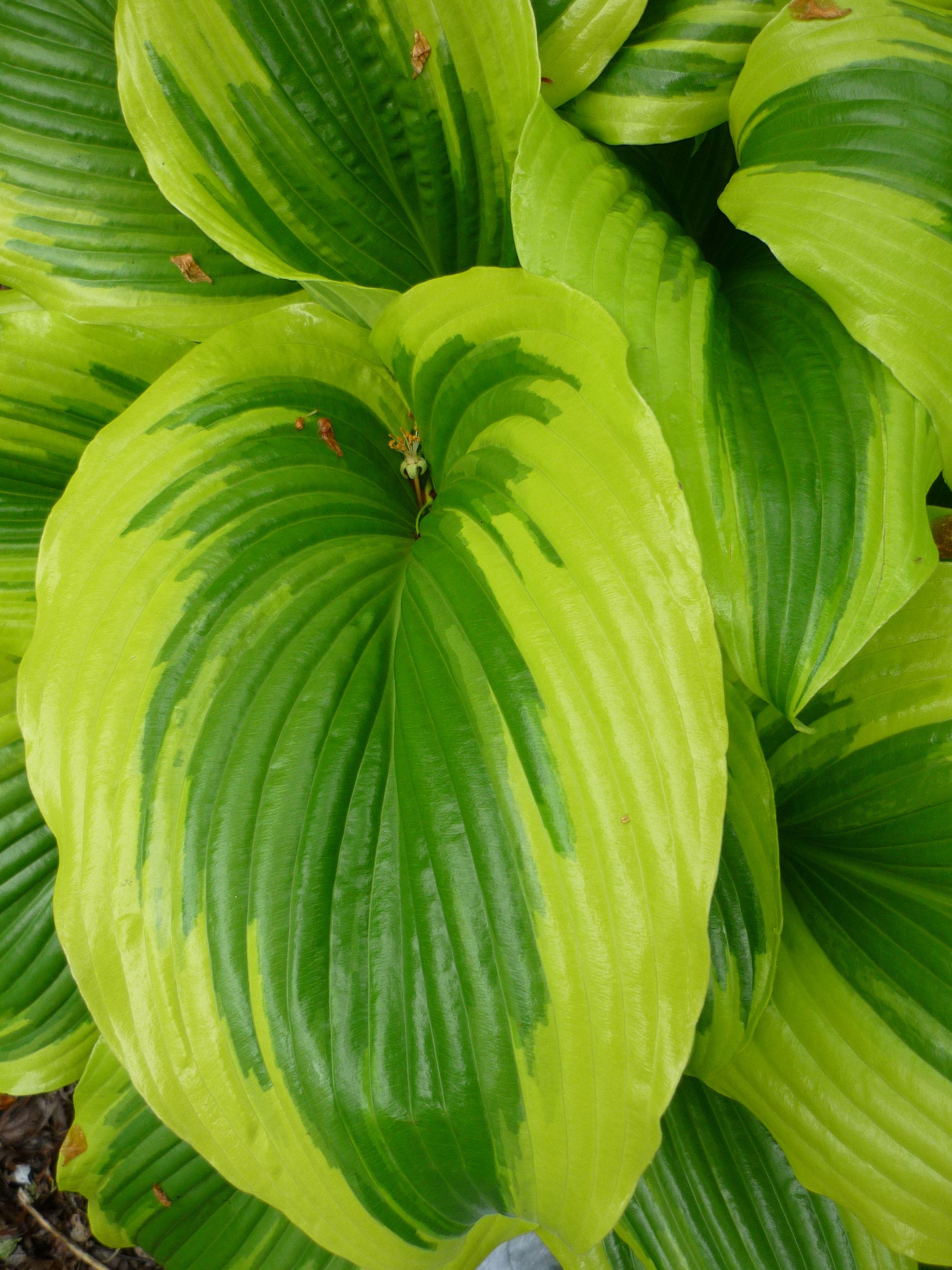 H Montana Aureomarginata Hosta Plant Leaves Garden Plants