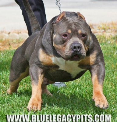 BLUE LEGACY PITS : Bully blue pitbull puppies for sale - Tri