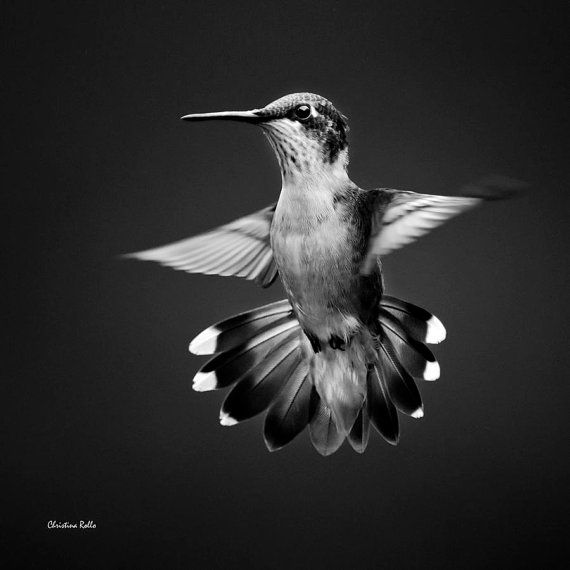 Black and white print black and white photography hummingbird photograph 8x8 print 10x10 hummingbird print bird wall art home decor