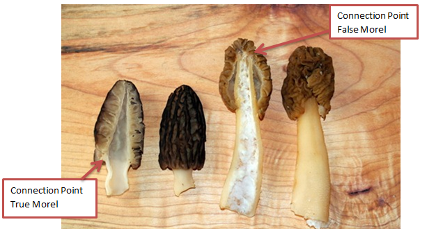 Good Vs Bad Morel Mushrooms Google Search Stuffed Mushrooms False Morel Mushrooms Morels