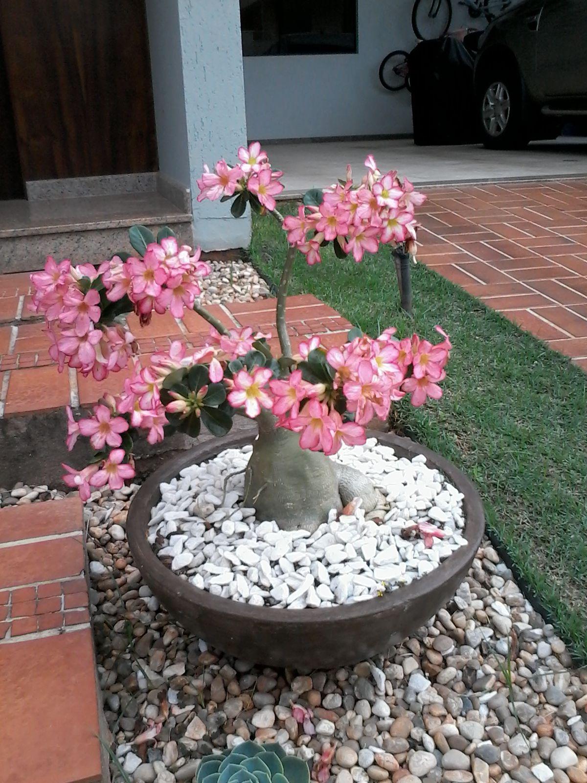 rosa do deserto plants and flowers pinterest. Black Bedroom Furniture Sets. Home Design Ideas