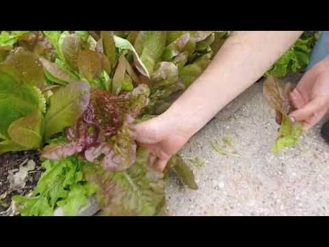 How to pick lettuce if the lettuce bolts and a seed head is formed it is a sign that the for How to pick lettuce from garden