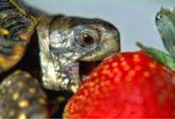 این حيوان توت فرنگی برایش مهم تر از روابط زناشویی است! + عکس