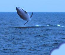 whale watching isle of mull scotland