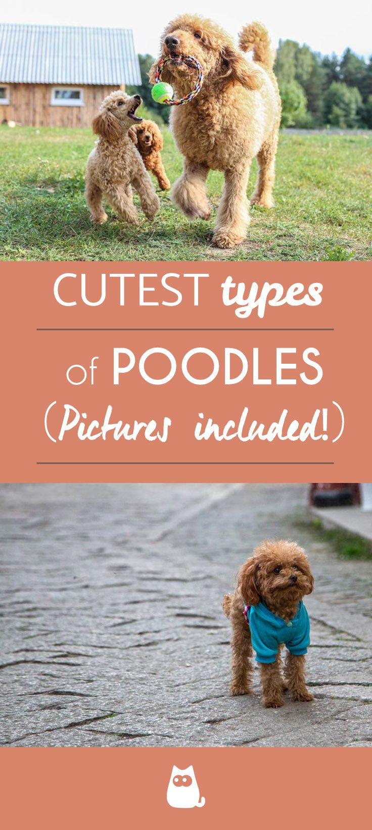 Types Of Poodle Sizes And Mixes Dogs Poodle Poodle Grooming