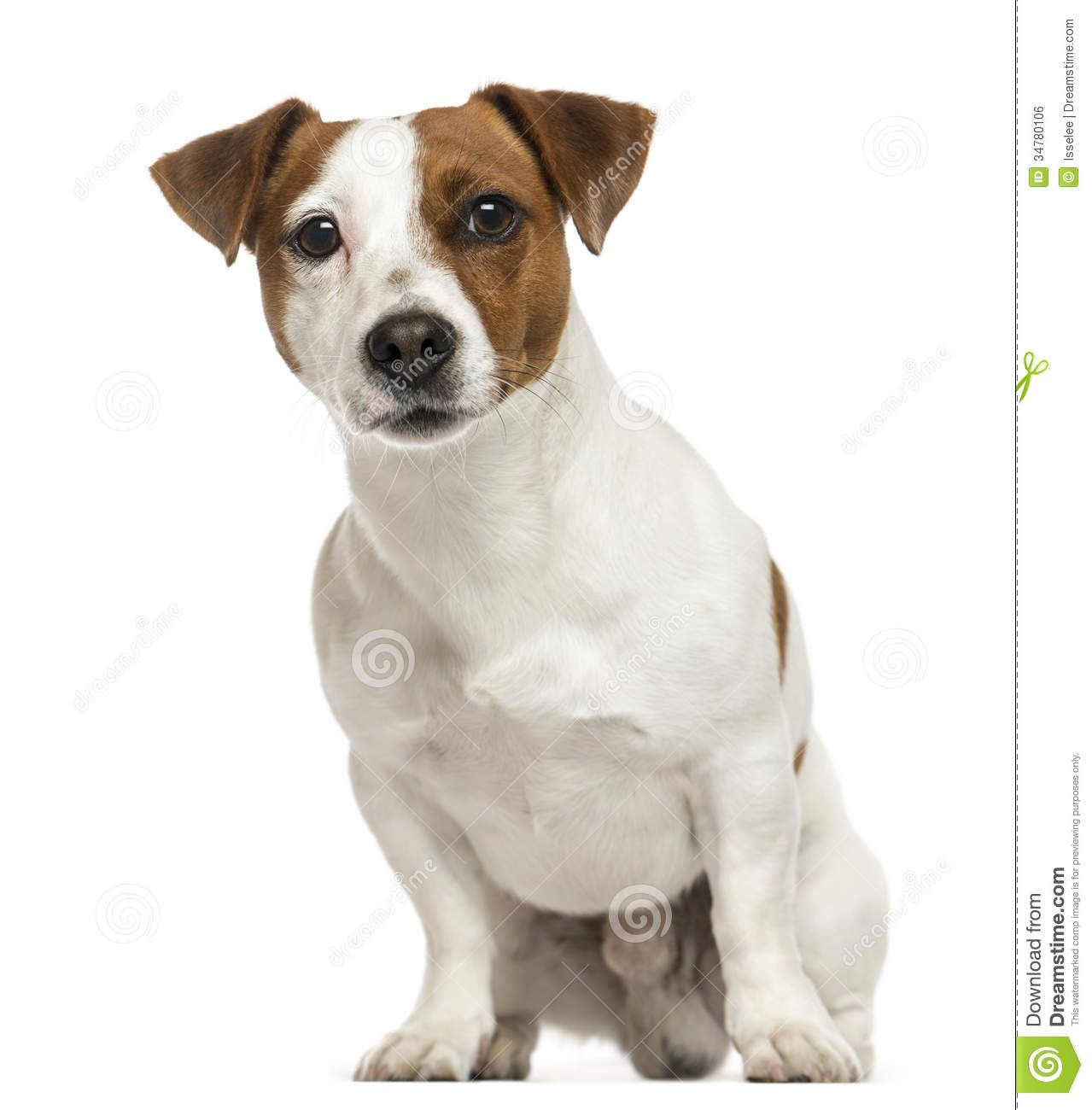 Jack Russell Dog Google Search Puppy Love Pinterest Jack