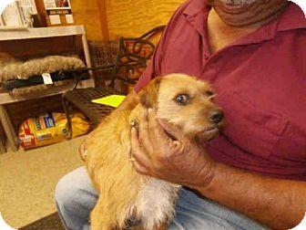 Naples, FL Tibetan Terrier Mix. Meet ISSA, a dog for