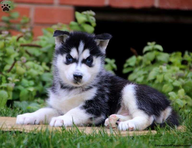 Siberian Husky Puppies For Sale In 2020 Siberian Husky Puppies Husky Puppy Akita Puppies For Sale